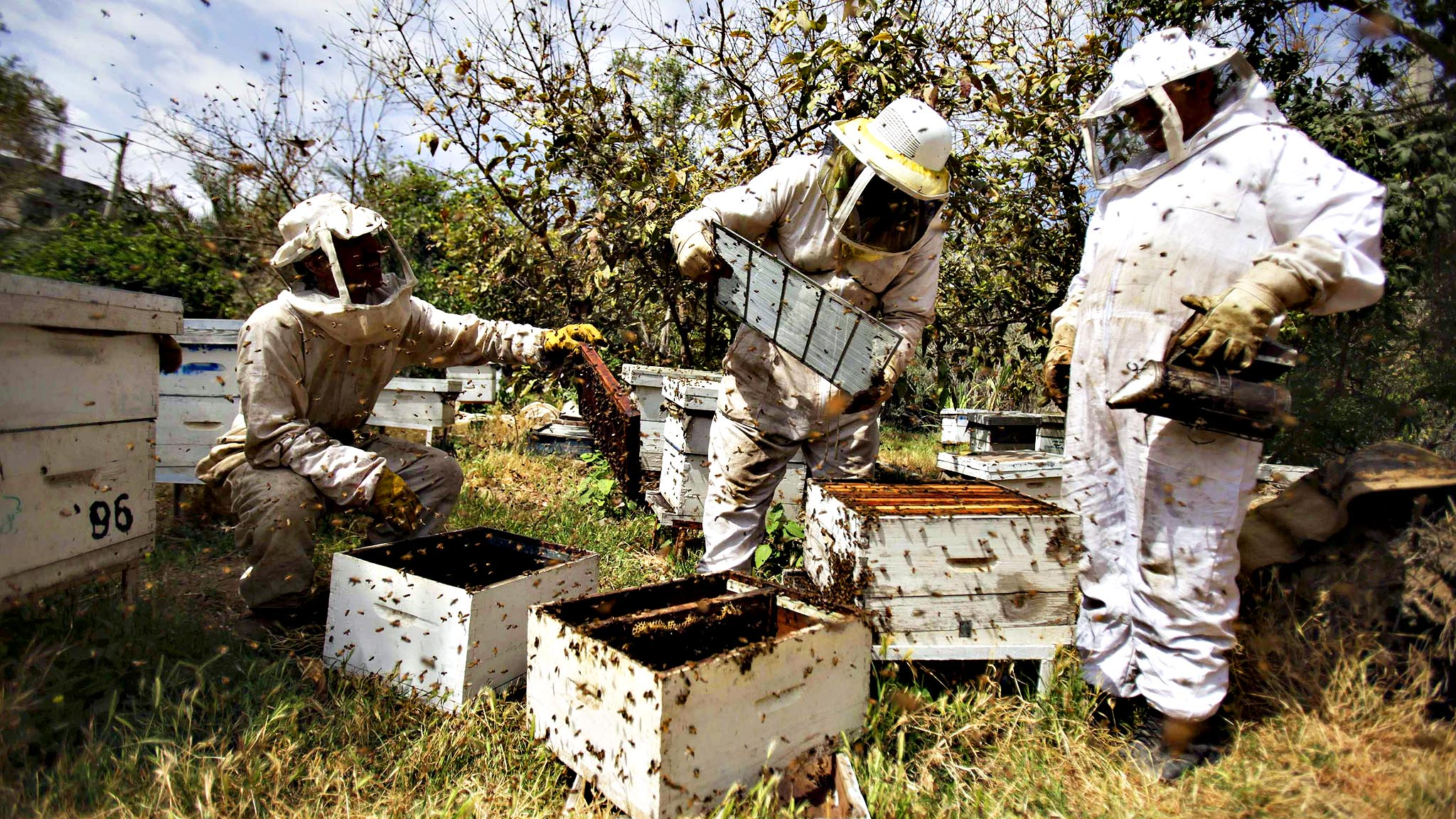 Palestinian beekeepers collect honey at a farm in Rafah in the s