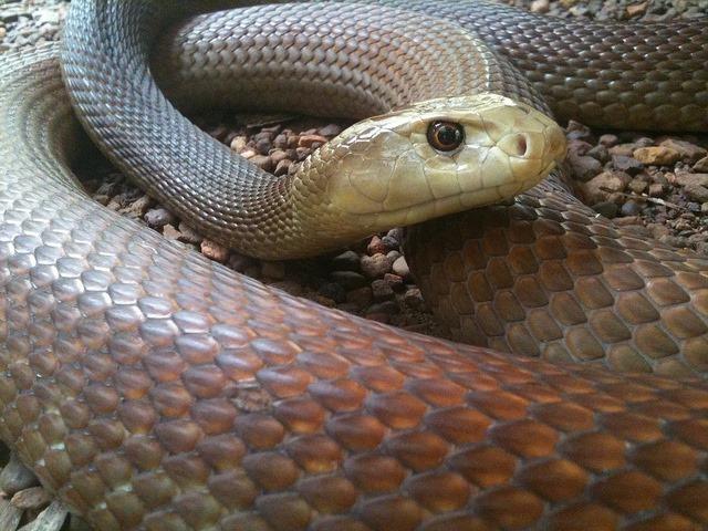 Australian-Taipan-snake